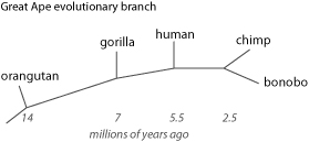 ape-evolution-branch